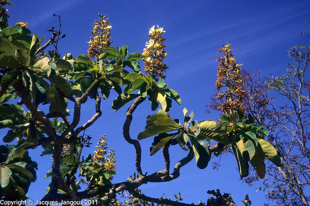 Salvertia convallariaeodora (family: Vochysiaceae), a contorted savanna tree, Minas Gerais State, Brazil (savanna is called cerrado in Brazil)