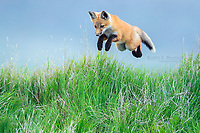 Red fox pup leaping into the air