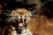 An amur leopard (Panthera pardus orientalis) snarling at the camera. Captive.