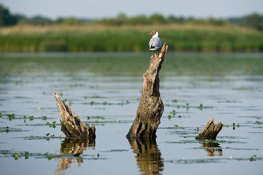 Black-headed gull (Larus ridibundus) on arid trees in Tisza lake, Hortobagy Nemzeti Park, Hungary
