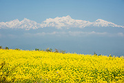 Himalayan white peaks over mustard flower field (Nepal)