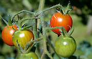 close up of cherry tomatoes