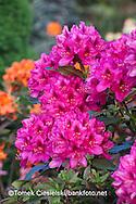 Rhododendron `Nova Zembla`