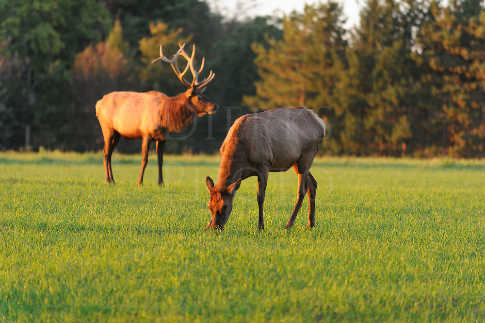 Elk cow grazing in open field at sunset with bull standing closely by, Elk County Visitor Center, Benezette, PA, USA.