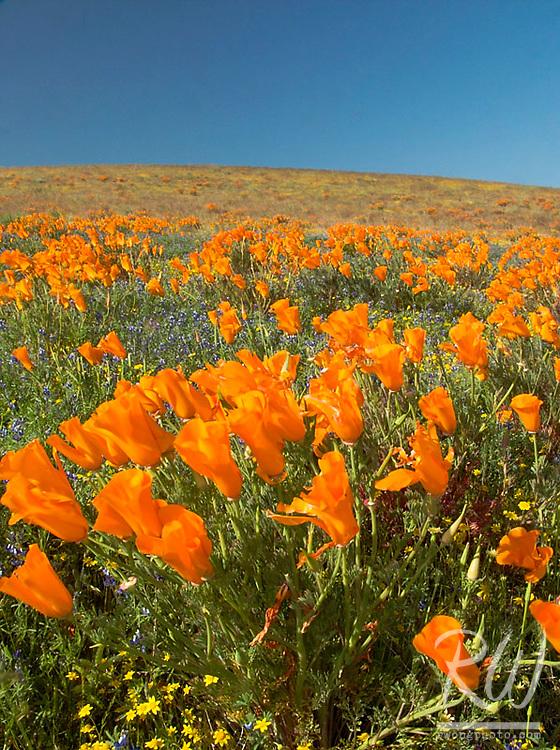 California Golden Poppies, Antelope Valley, California
