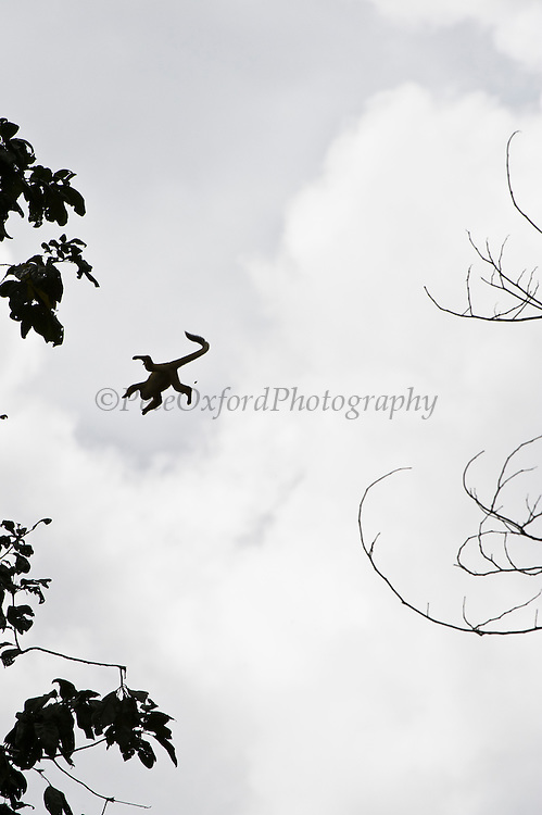 Common Squirrel Monkey (Saimiri sciureus) Jumping between trees<br /> Yasuni National Park, Amazon Rainforest<br /> ECUADOR. South America<br /> HABITAT & RANGE: Tropical forests of Brazil, Columbia, Ecuador, French Guiana, Guyana, Peru, Suriname, Venezuela and Puerto Rico.