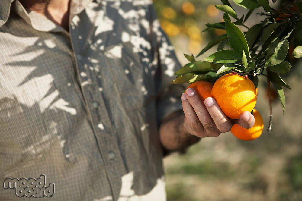 Man touching oranges on tree mid section