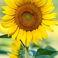 Image of the head of an isolated sunflower (Helianthus annuus), McKee-Beshers Wildlife Management Area, Poolesville, Maryland.