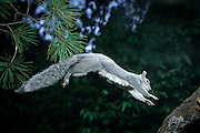 A western gray squirrel (Sciurus griseus) jumps from a tree limb in the Dechutes National Forest, Oregon.