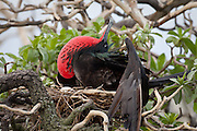 Male Great Frigate bird on nest, displaying its throat pouch