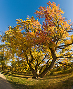 Magnificent autumn tree along the Boise Nature Preserve and green belt near Bown Crossing in Boise, Idaho.