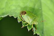 Green Shield Bug - Palomena prasina