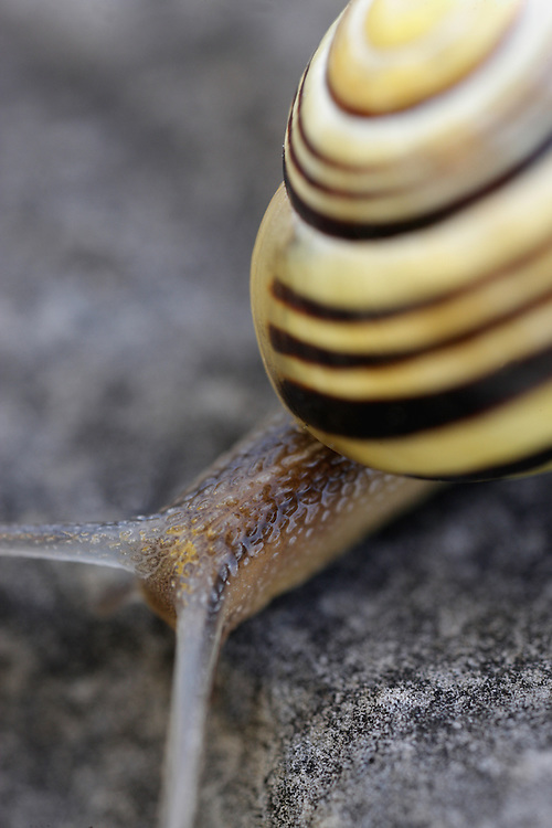 White-lipped snail Ceapea hortensis Burren Ireland
