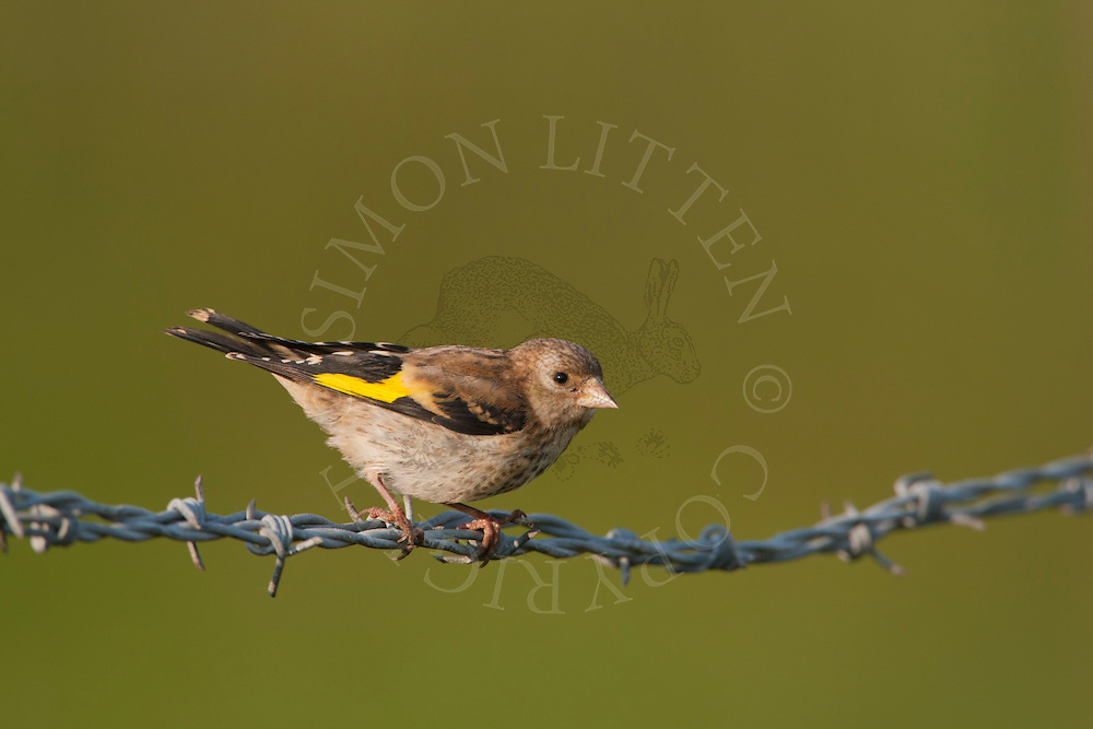 European Goldfinch (Carduelis carduelis) juvenile perched on barbed wire fence, Norfolk, UK.