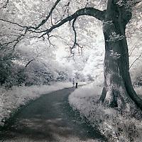 A oak tree beside a path with two people walking