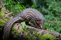 Sunda pangolin<br /> Manis javanica<br /> Singapore Night Safari, Singapore<br /> *Captive