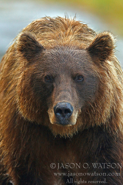 Detailed view of a North American brown bear coastal grizzly bear (Ursus arctos horribilis) sow, Lake Clark National Park, Alaska, United States of America