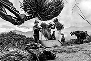 Harvesting rice by hand can be a violent sport! Near Ta Van, Lao Cai, if I remember right.
