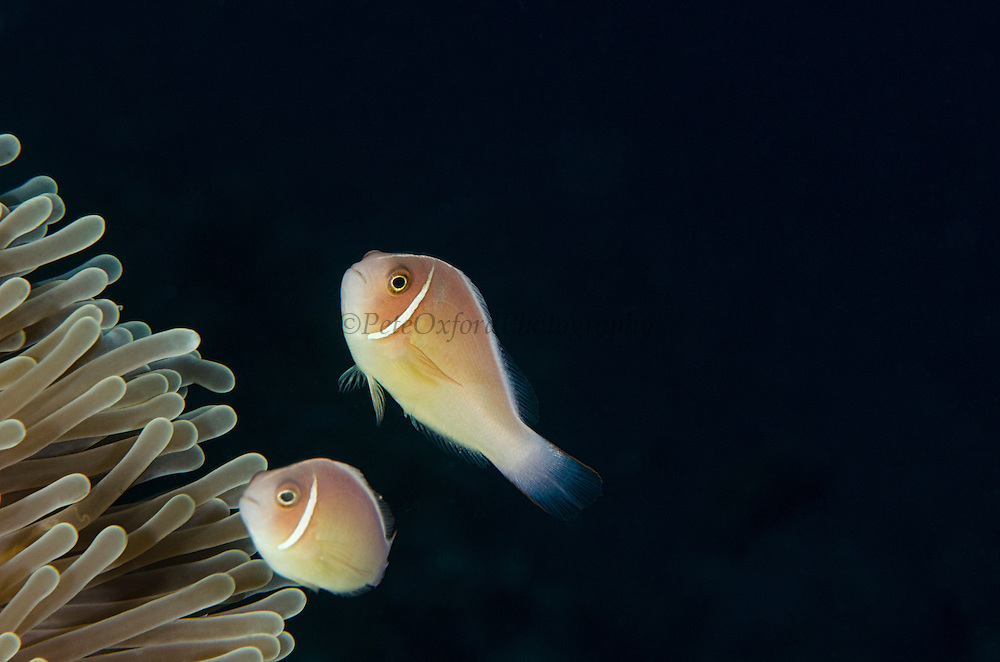 Pink Anemonefish (Amphiprion perideraion)  & Ritteri Anemone (Heteractis magnifica)<br /> Cenderawasih Bay<br /> West Papua<br /> Indonesia