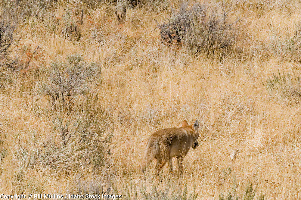 Coyote (Canis latrans) hunting rodents in Yellowstone National Park WY