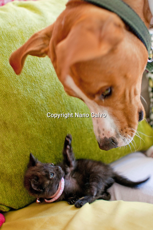 1 month old black kitten playing with a dog