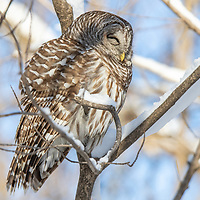 Barred Owl sleeping in a snowy forest