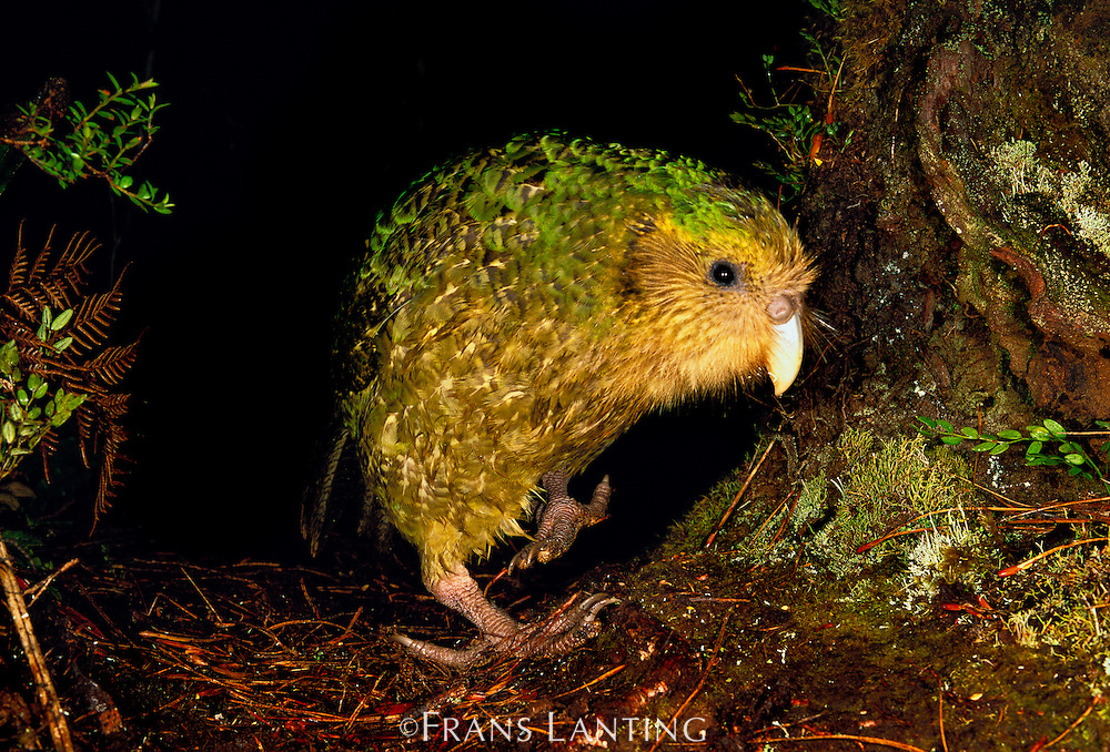 Kakapo, Strigops habroptila, Codfish Island, New Zealand