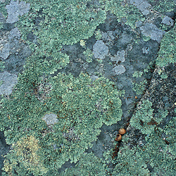 Biddeford, ME. Lichens on a rock in the forest at the Grose Property at Fortunes Rocks.  TPL project.