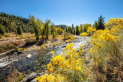 """Truckee River Wildflowers 1"" - Autumn photograph of yellow wildflowers along the Truckee River in Downtown Truckee, California."