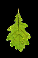 Sessile Oak - Quercus petraea