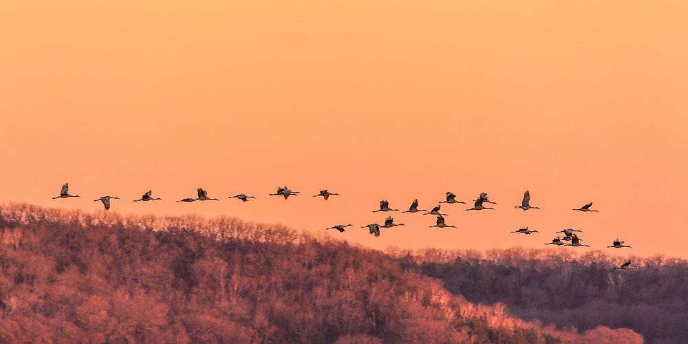Sandhill migration in the setting sun