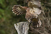 Barred owl lands on a stump at the Center for Birds of Prey November 15, 2015 in Awendaw, SC.