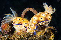 Risbecia tryoni nudibranchs apparently nuzzle priot to mating. It is likely that they are actually using the chemical receptors on their rhinophores to sense the readiness of the other.