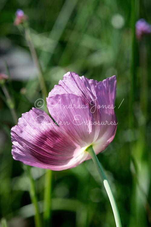 Papaver cv (poppy)