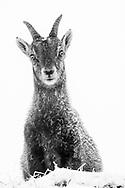 Junge Steingeiss (Capra ibex) bei einem Wintereinbruch am Pilatus an einem nebligen Tag mit Schneetreiben.