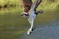 Osprey grips fish with two feet and aligns fish with the flight direction, © 2015 David A. Ponton
