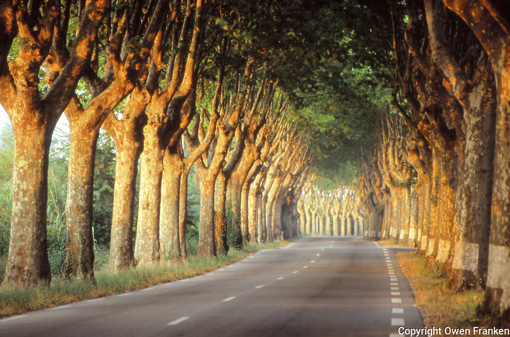 Sycamore lined road in Provence
