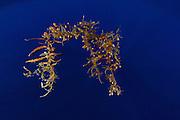 Sargasso Weed or Broad-toothed Gulfweed (Sargassum fluitans) Sargassum Community. Sargasso Sea, Bermuda