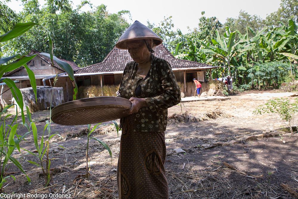 Talia, 70, sieves grains of rice at her home in Wareng, Wonosari subdistrict, Gunung Kidul district, Yogyakarta Special Region, Indonesia. Talia's daughter is a member of Menur, Suparjiyem's cooperative.