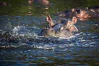 Adult hippo peers from the waters of St Lucia Estuary in South Africa.