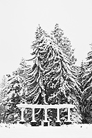A fir tree heavily laden with snow leans on its neighbor in a snow covered park and garden in black and white
