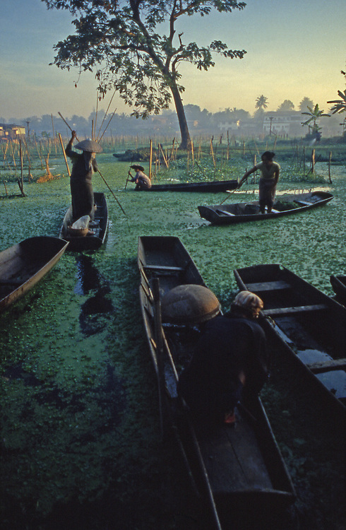 Lao harvest water greens from wooden boats in Vientiane