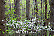 66745-04218 Dogwood trees in spring along Little River Road, Great Smoky Mountains National Park, TN