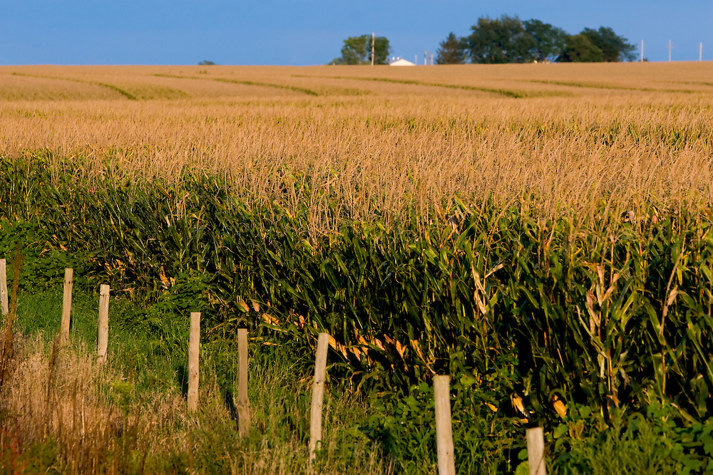 With the sky in the distance dark with approaching storms, the last light of the day accents a field full of corn, almost ready for harvest, in Central Illinois.