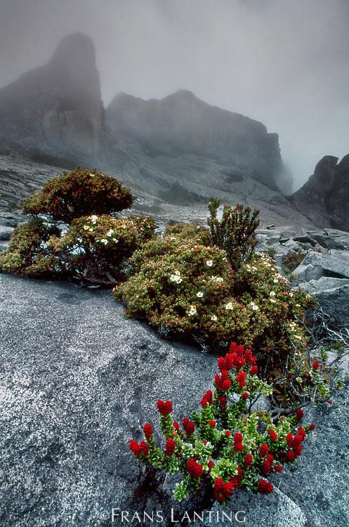 Alpine vegetation near summit of Mt Kinabalu, Mt Kinabalu National Park, Sabah, Borneo