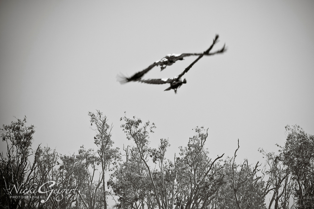 Two birds close in flight, Yosemite, black and white image. Wildlife and nature photography prints for sale. Fine art photography wall art.