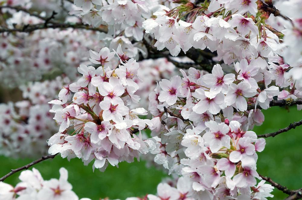 Cherry Blossoms after a rain shower at Seattle's Washington Park Arboretum.