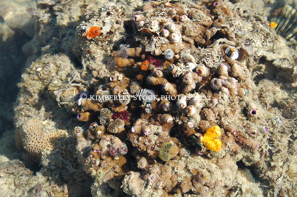 Christmas tree worms exposed at low tide on the Kimberley coast.  This species (Spirobranchus giganteus) is fairly common on the coast.  The worms filter plankton with their feathery radioles.