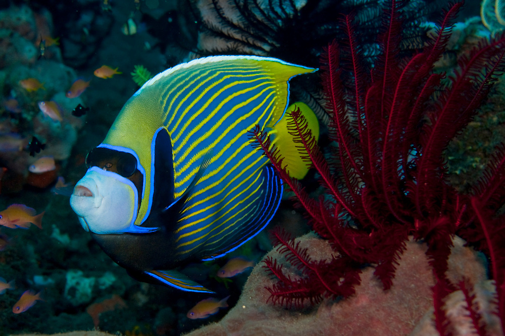 Adult Emperor Angelfish (Pomacanthus imperator) in Tulamben, Bali, Indonesia. This species is avidly sought for the aquarium trade.