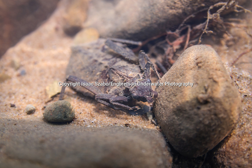 Dragonfly Larva<br /> <br /> Isaac Szabo/Engbretson Underwater Photography